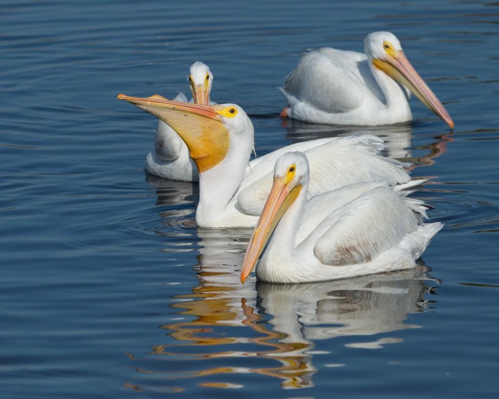 Pelican Island, Ned Dayton