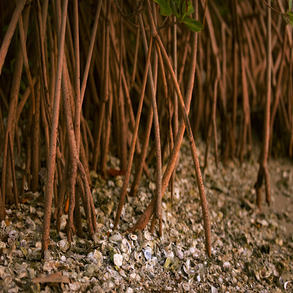Mangrove roots stretching out into the shoreline of the Indian River Lagoon