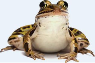 frogleg-festival