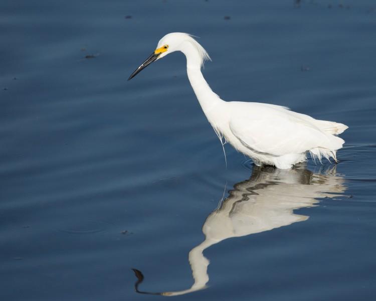 snowy egret - Water Treatment Preserve