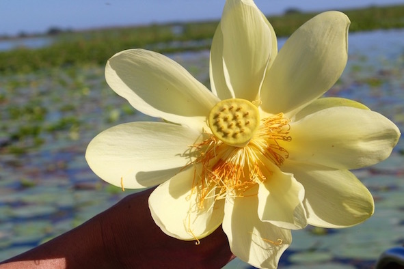 See blooming lotus lilies when you ride the Florida Cracker Airboat, photo by Tracy Kaler.