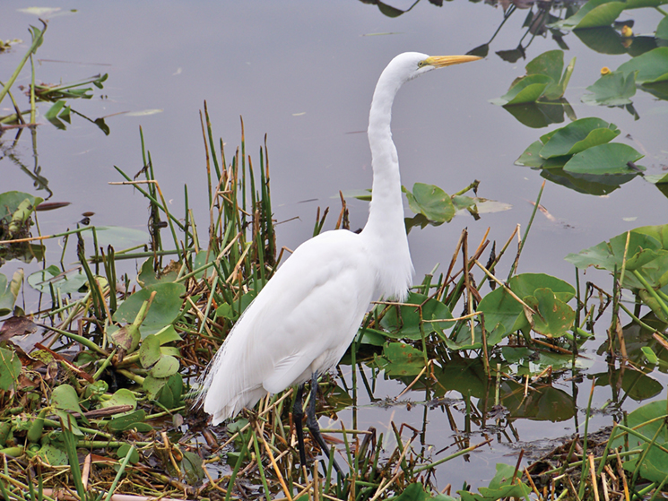 Egrets and hundreds of other species live in the ecoystem; photography by Visit Vero Beach Fellsmere Sebastian