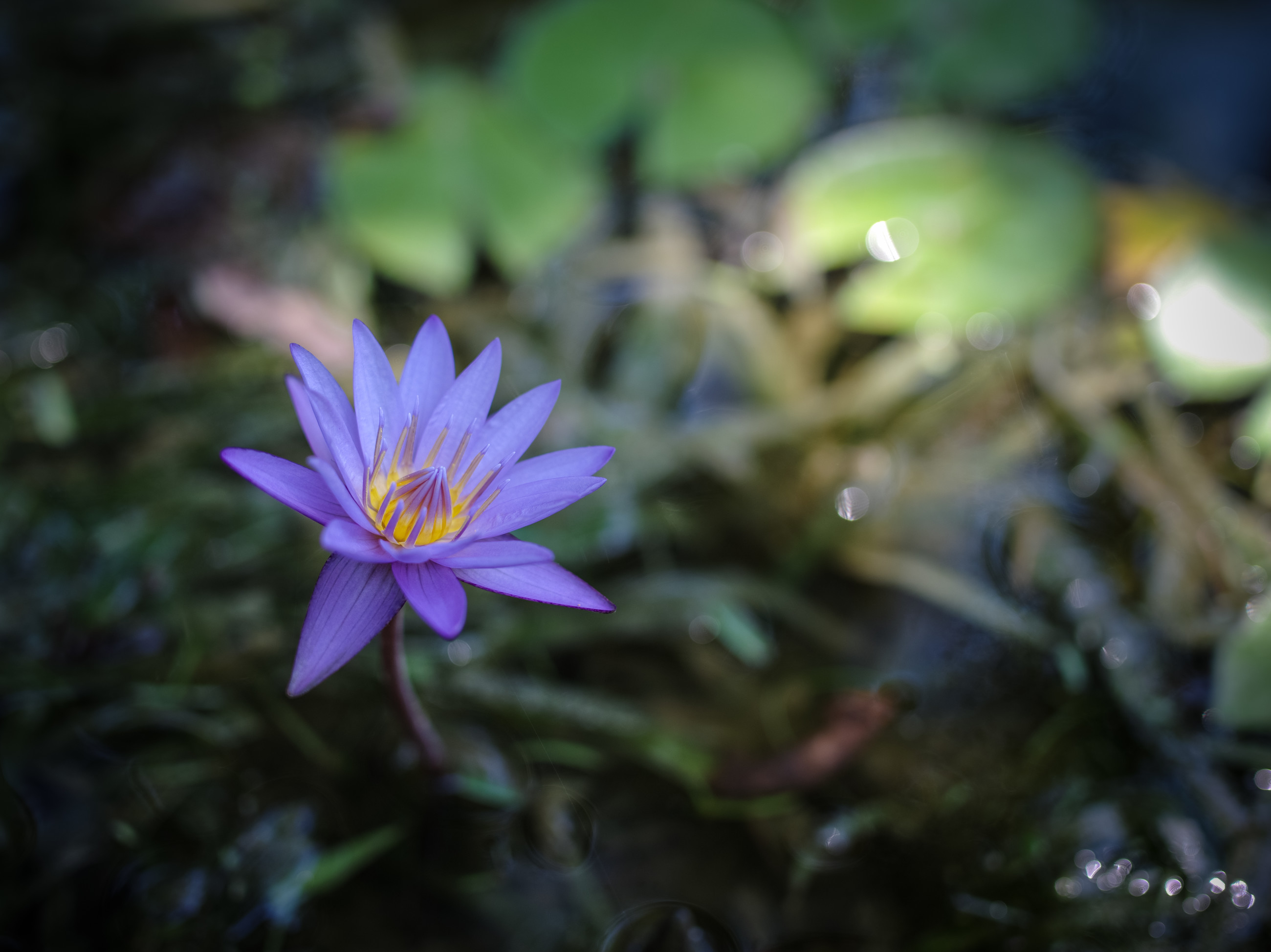 McKee Waterlily